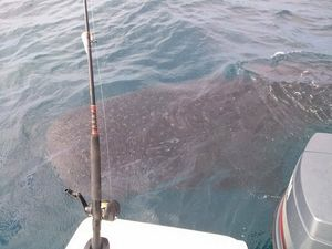 WATCH: Whale shark gives friendly nudge to fisherman's boat